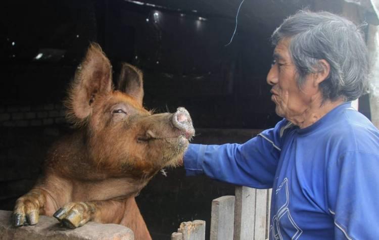 Los criadores urbanos de cerdo empiezan un programa para mejorar su producción con sinba.